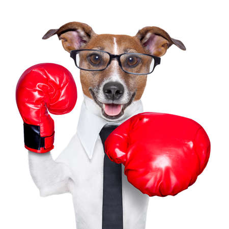 Boxing business dog punching towards camera with red boxing gloves