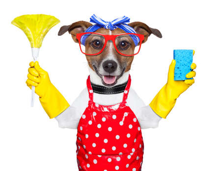 Domestic cleaning: housewife dog with rubber gloves  and a feather duster Stock Photo