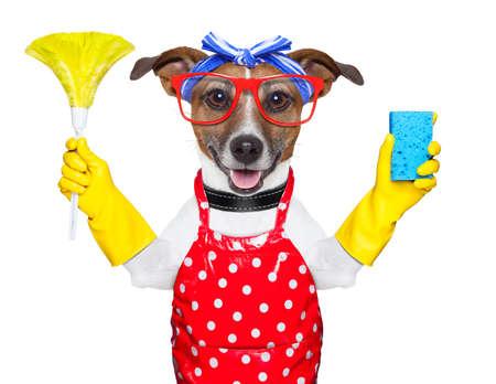 huisvrouw hond met rubber handschoenen en een plumeau Stockfoto