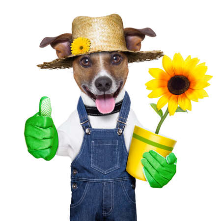 jardinero: perro jardinero feliz con el pulgar hacia arriba y una flor Foto de archivo