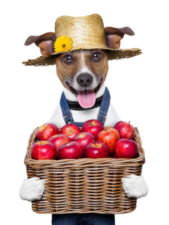 happy farmer dog holding a  basket full of organic healthy apples
