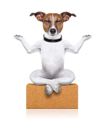 meditating: yoga dog sitting relaxed with closed eyes thinking deeply on a brick