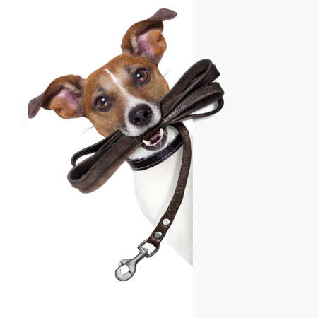 dog with leather leash waiting to go walkies Stock Photo