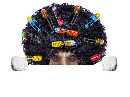 afro look dog with very big curly black hair hiding behind blank banner photo