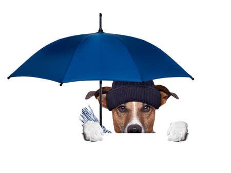 bad weather: rain umbrella dog hiding behind a blank banner Stock Photo