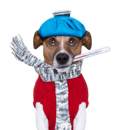 sick dog with fever wit an ice bag on head Stock Photo - 22666431