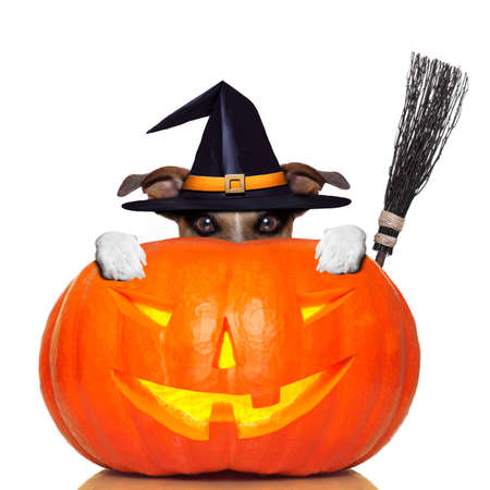 halloween pumpkin witch dog with a broom photo