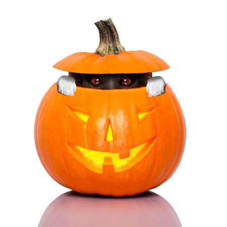 halloween dog inside a pumpkin looking spooky