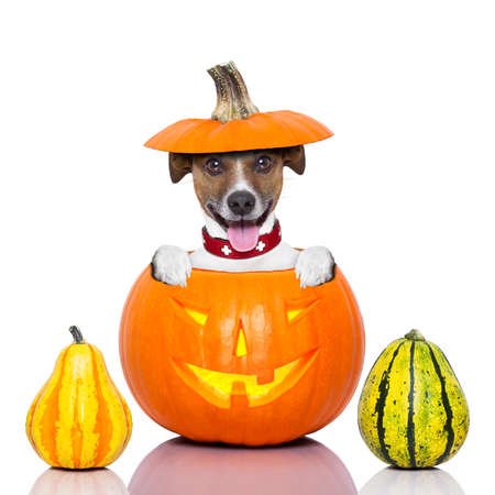 halloween dog inside a pumpkin looking spooky