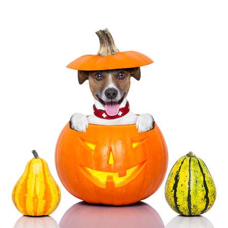 Halloween perro dentro de una calabaza de mirada fantasmagórica