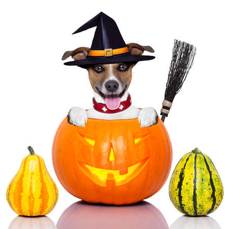 halloween dog inside a pumpkin looking spooky with a witch broom Stockfoto