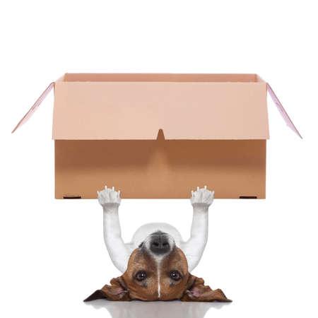 box big: dog lifting a very big moving box Stock Photo