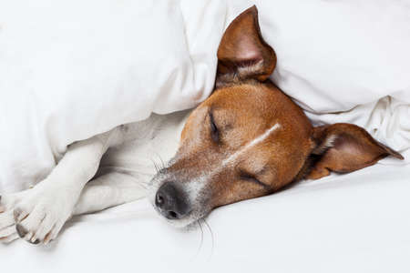 sense of space: Jack russell terrier sleeping in bed and dreaming