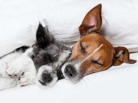 two dogs in love sleeping together in bed photo