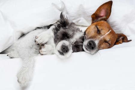 couple au lit: deux chiens dans l'amour dormir ensemble dans le lit