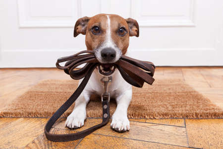 dog with leather leash waiting to go walkies Stok Fotoğraf