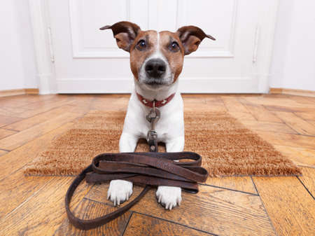 dog leashes: dog with leather leash waiting to go walkies Stock Photo
