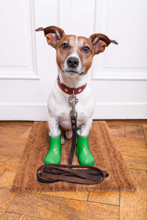 dog leashes: dog with green rubber rain boots waiting to go walkies in the rain and cold weather Stock Photo