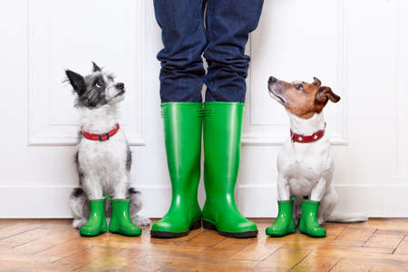 casa: due cani terrier in attesa di andare walkies sotto la pioggia davanti alla porta di casa Archivio Fotografico