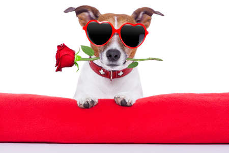 valentines day dog  holding a rose in his mouth photo