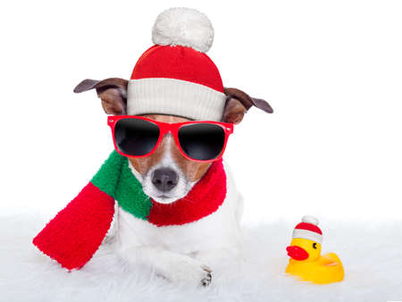 christmas dog resting on a white carpet and a rubber duck 版權商用圖片