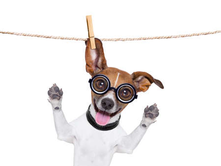 animal idiot: crazy silly dog with funny glasses hanging on a clothes line