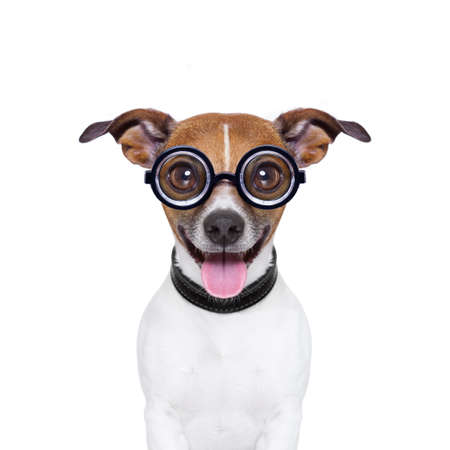 surprised dog: crazy silly dog with funny glasses and tongue ears down Stock Photo