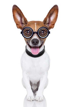 crazy silly dog with funny glasses showing tongue full body photo