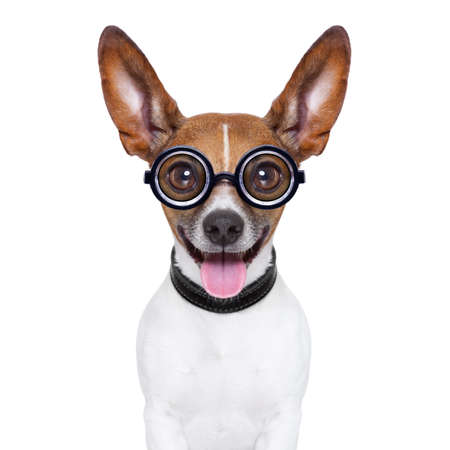 animal idiot: crazy silly dog with funny glasses showing tongue Stock Photo