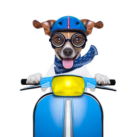 funny animal: crazy silly motorbike dog with helmet and sticking out the tongue Stock Photo
