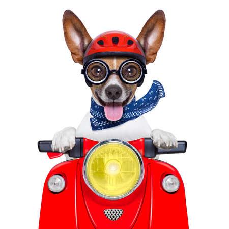 헬멧과 혀를 튀어 나와 미친 바보 오토바이 개