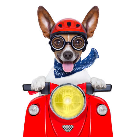 crazy silly motorbike dog with helmet and sticking out the tongue photo