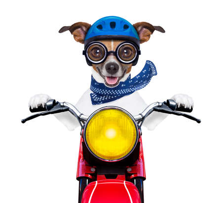 moped: motorbike dog at speed with helmet and crazy glasses