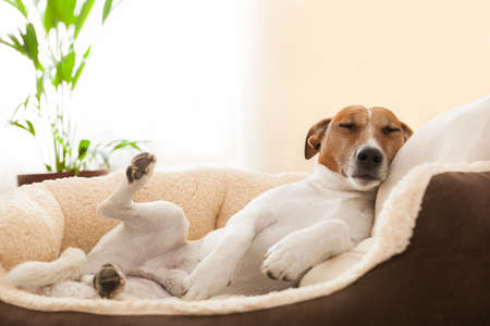 sad dog: dog having a relaxing siesta in living room Stock Photo