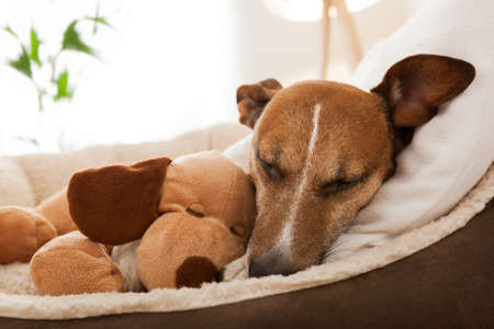 terriers: cozy couple of dog and best friend resting on sofa Stock Photo