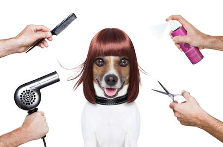 salon: hairdresser dog ready to look beautiful at the spa
