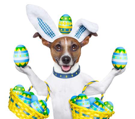 perros vestidos: perro disfrazado de celebraci�n conejito como Pascua y huevos de equilibrio Foto de archivo