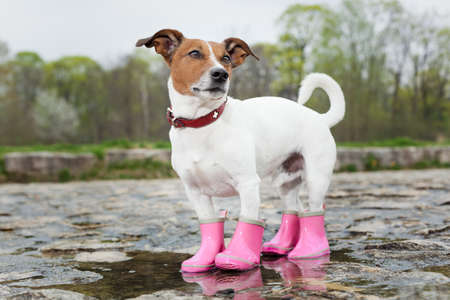 puddle: dog wearing pink rubber boots inside a puddle