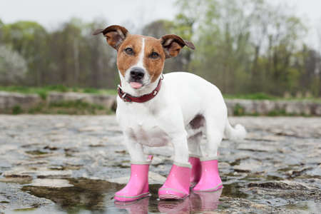 dog wearing pink rubber boots inside a puddle  sticking out  the tongue photo