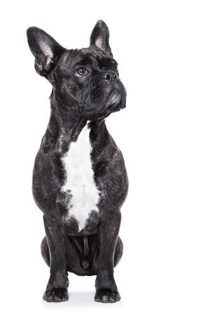 french bulldog sitting on white background isolated looking up photo