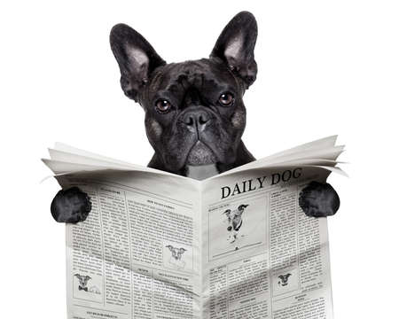 black  french bulldog reading a big newspaper photo