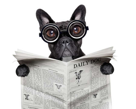 black  french bulldog reading a big newspaper