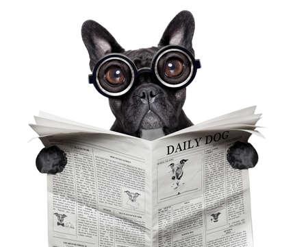 schwarz Französisch Bulldog Lesen einer großen Zeitung