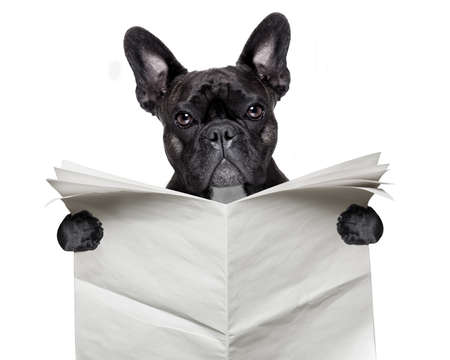 black  french bulldog reading a big blank newspaper