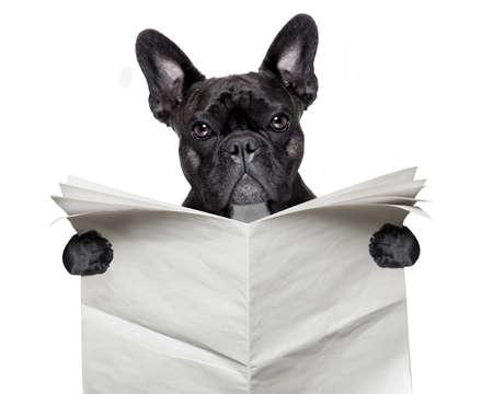periódicos: negro bulldog francés que lee un periódico en blanco grande