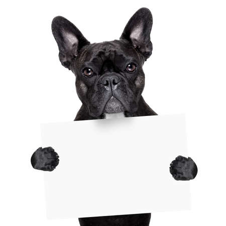 french bulldog behind a white blank banner photo