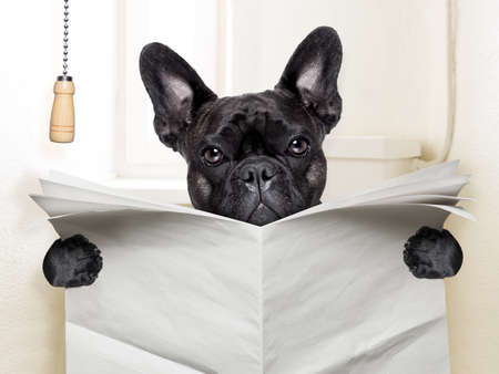 french text: french bulldog  sitting on toilet and reading newspaper Stock Photo