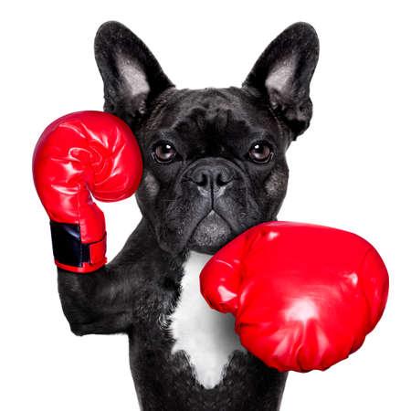 francouzský buldoček box pes s velkými červenými rukavicemi