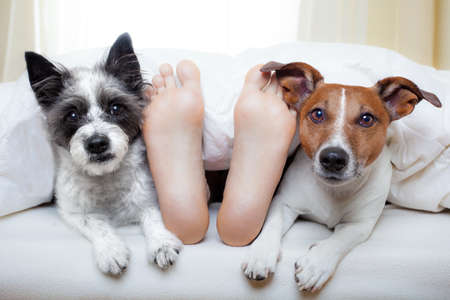 couple of dogs under white bed sheets with sleeping owner Stock Photo
