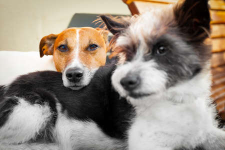 overslept: couple of dogs in love close and cozy together